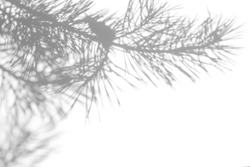Gray shadow of natural pine tree brunch on a white wall. Abstract neutral nature concept blurred background. Space for text.