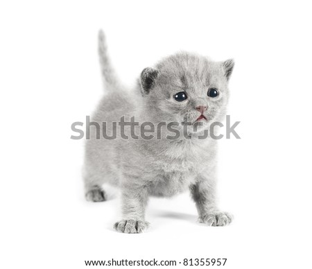 Gray small british kittens on white background