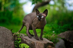 gray sphynx cat sits on a stone.  cat hunts prey in nature.  summer animal photography