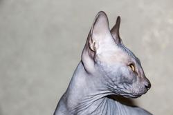Gray sphynx hairless kitten, anti-allergenic cat, pet looking somewhere . Beautiful cat with hairless skin.