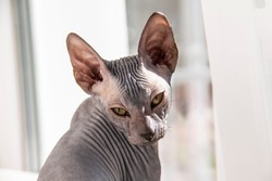 Gray sphynx hairless kitten, hairless, anti-allergenic cat, pet look in front Beautiful cat's face with hairless skin.