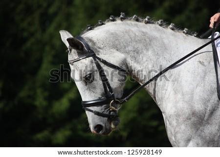 Gray sport horse portrait during dressage competition