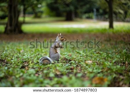 Gray squirrel in Monza park Stok fotoğraf ©