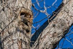 Gray Squirrel Peeking Out of Tree Hollow With Paw On Opening; Blue Sky Background