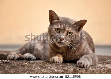 Gray stray cat at the street.