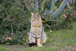 Gray striped stray cat sits on the lawn against the backdrop of agave and flowering bushes. Portrait of a beautiful homeless cat on the loose.