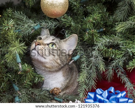 Gray Tabby cat starring at golden ornament while inside of Christmas Tree