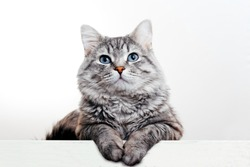Gray tabby cute kitten with blue eyes. Pets and lifestyle concept. Lovely fluffy cat on grey background.