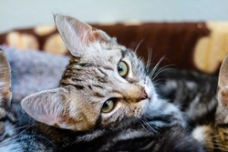 Gray tabby kitten looking into the camera