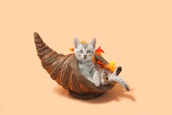 Gray tabby kitten sitting inside of a cornucopia, a thanksgiving decoration with fall leaves, orange background.