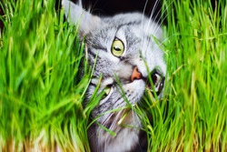 Gray tabby lovely fluffy cat eating fresh green grass with funny emotions, showing teeth and big whiskers looking at camera. Pet care, Natural food and vitamins for pets concept. Hairball treatment.