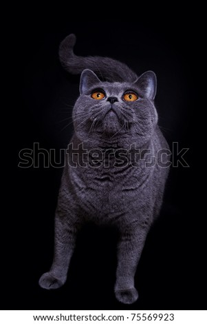 Gray thoroughbred British cat on a black background