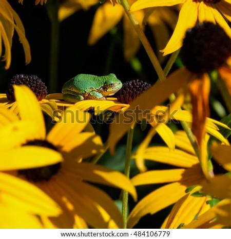 Gray Tree Frog on Joe Pye Weed Yellow Flower #484106779