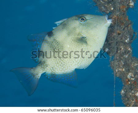 Gray Triggerfish-Balistes capriscus, picture taken in Palm Beach County Florida.