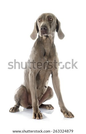 gray Weimaraner in front of white background #263324879