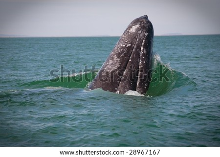 Gray whale adult male falls over after spy hop