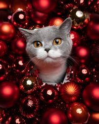 gray white british shorthait cat surrounded by red christmas baubles decoration
