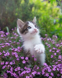 gray-white curious cute kitten with big blue eyes sits on a flower bed among many bright pink flowers. White paw with claws in the foreground. Cat's childhood, beautiful cards, harmony of nature