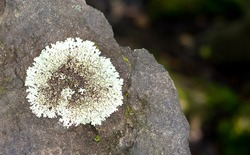Gray-white lichen grows on the stone. Leafy lichens in the form of plates of different colors.