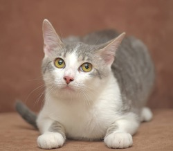 gray with a white cat on a brown background