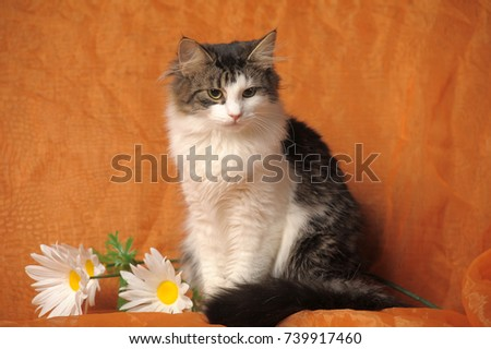 gray with white norwegian forest cat and daisies on brown background