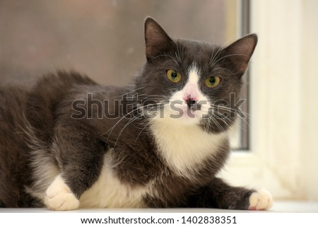 gray with white plump cat portrait #1402838351