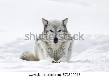 Stock Photo Gray Wolf