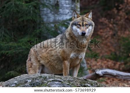 gray wolf #573698929