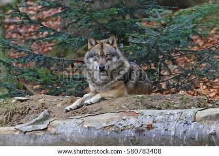gray wolf #580783408