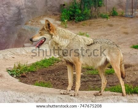 gray wolf #747675208
