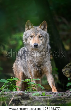 Gray wolf, Canis lupus, in the summer light, in the forest. Wolf in the nature habitat Foto stock ©