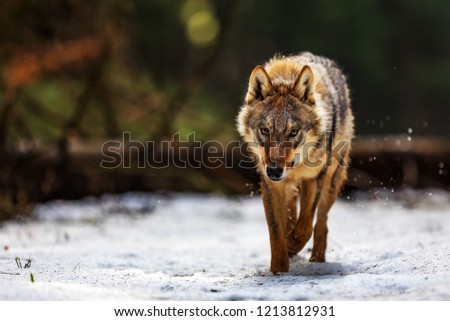 gray wolf (Canis lupus) is very dangerouse and angy animal