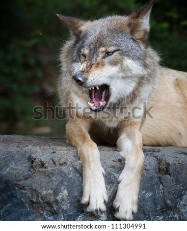 Gray wolf growls with mouth open