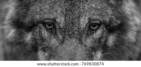 Gray Wolf in Black and White #769830874