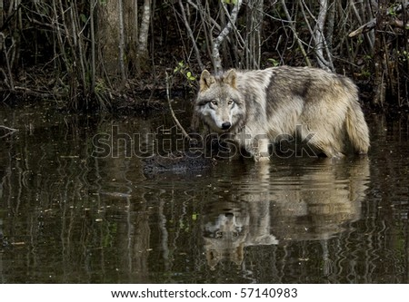 gray wolf in pond - stock photo