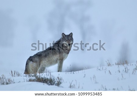 Gray Wolf in  Yellowstone National Park Agnieszka Bacal.