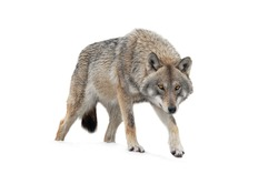 Gray Wolf is isolated on a white background.