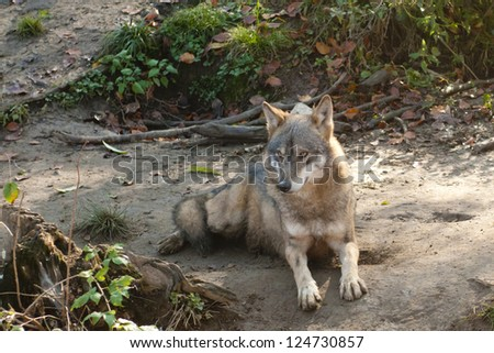 Gray Wolf Laid Down