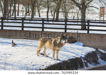 Gray wolf or grey wolf (Canis lupus), also known as the timber wolf or western wolf in captivity. Animal in snowy landscape. #762989224