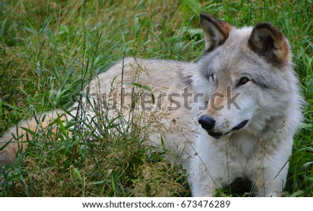 Gray wolf or grey wolf Canis lupus, also timber or western wolf is a canine native to the wilderness and remote areas of Eurasia and North America. It is the largest extant member of its family #673476289