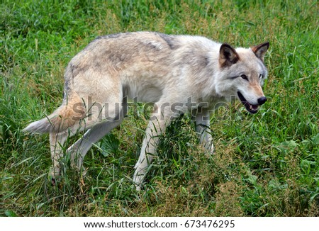 Gray wolf or grey wolf Canis lupus, also timber or western wolf is a canine native to the wilderness and remote areas of Eurasia and North America. It is the largest extant member of its family #673476295