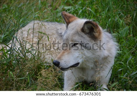 Gray wolf or grey wolf Canis lupus, also timber or western wolf is a canine native to the wilderness and remote areas of Eurasia and North America. It is the largest extant member of its family #673476301