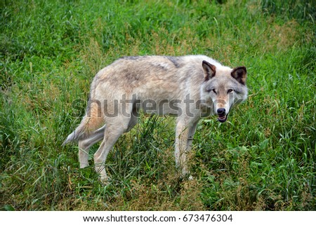 Gray wolf or grey wolf Canis lupus, also timber or western wolf is a canine native to the wilderness and remote areas of Eurasia and North America. It is the largest extant member of its family #673476304