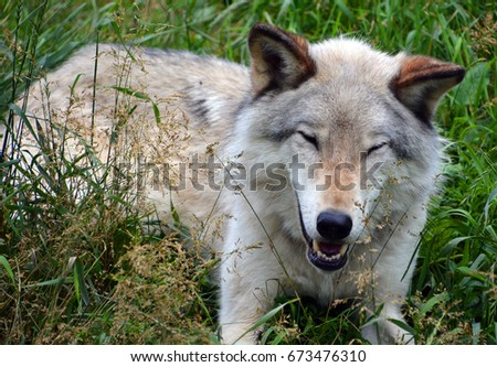 Gray wolf or grey wolf Canis lupus, also timber or western wolf is a canine native to the wilderness and remote areas of Eurasia and North America. It is the largest extant member of its family #673476310