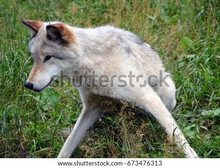 Gray wolf or grey wolf Canis lupus, also timber or western wolf is a canine native to the wilderness and remote areas of Eurasia and North America. It is the largest extant member of its family #673476313