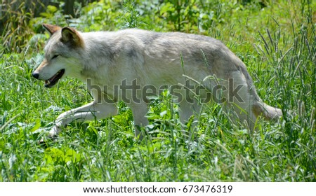 Gray wolf or grey wolf Canis lupus, also timber or western wolf is a canine native to the wilderness and remote areas of Eurasia and North America. It is the largest extant member of its family #673476319
