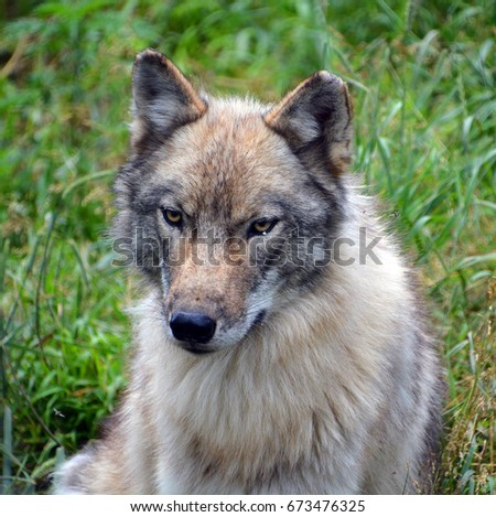 Gray wolf or grey wolf Canis lupus, also timber or western wolf is a canine native to the wilderness and remote areas of Eurasia and North America. It is the largest extant member of its family #673476325