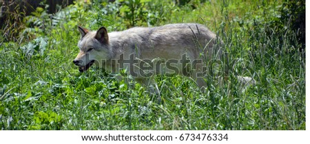 Gray wolf or grey wolf Canis lupus, also timber or western wolf is a canine native to the wilderness and remote areas of Eurasia and North America. It is the largest extant member of its family #673476334