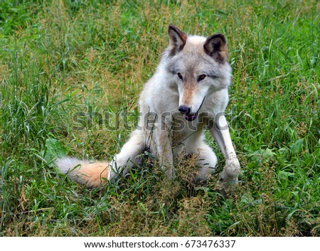 Gray wolf or grey wolf Canis lupus, also timber or western wolf is a canine native to the wilderness and remote areas of Eurasia and North America. It is the largest extant member of its family #673476337