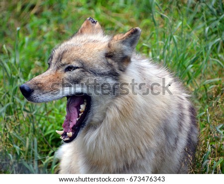 Gray wolf or grey wolf Canis lupus, also timber or western wolf is a canine native to the wilderness and remote areas of Eurasia and North America. It is the largest extant member of its family #673476343